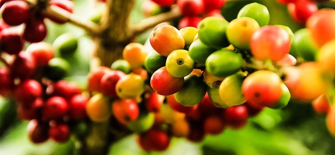 Planta de cafe con granos de café, lavazza cafe, café orgánico